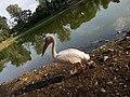 Swan at zoo.jpg