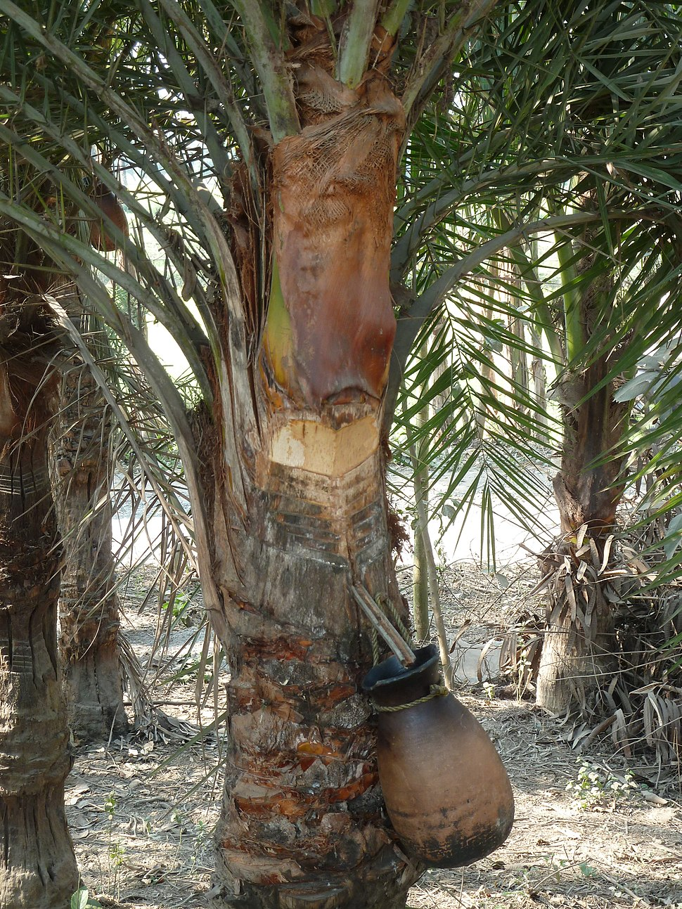 Sweet sap from date palm