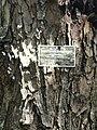 Swietenia mahagoni - San Juan Botanical Garden - DSC07060.JPG