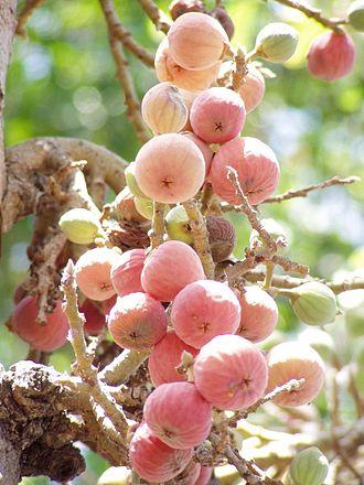 Ficus sycomorus - Cluster of sycomore fig syconia
