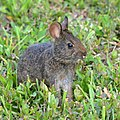Sylvilagus palustris in Sanibel Island 01.jpg