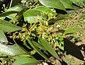 Syzygium zeylanicum 11.JPG