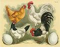 Tab44 Hühner (Geflügel-Album, Jean Bungartz, 1885).jpg