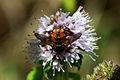 Tachinid fly (Peleteria varia) dorsal.jpg