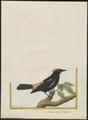 Tachyphonus cristatus - 1700-1880 - Print - Iconographia Zoologica - Special Collections University of Amsterdam - UBA01 IZ15900273.tif