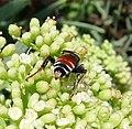 Tachytes panzeri. Crabronidae Female. (Also known as Tachysphex europaea) - Flickr - gailhampshire.jpg