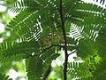 Tamarindus indica05.JPG