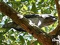 Tawnymouth -not an Owl!.JPG