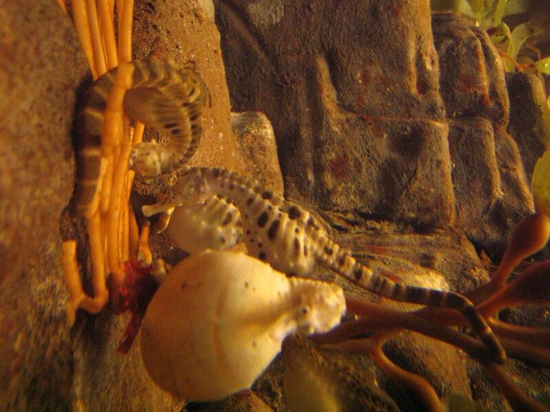 Tehotny morsky konik