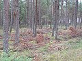Tentsmuir Forest - geograph.org.uk - 1454326.jpg