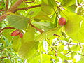 Terminalia catappa (109).jpg