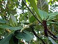 Terminalia catappa (2).JPG