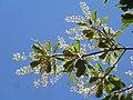 Terminalia phanerophlebia, bloeiwyses, Manie van der Schijff BT, g.jpg