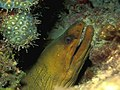 Terrier-Sized Green Moray Eel (108074029).jpg