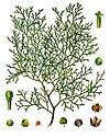 Tetraclinis articulata - Köhler–s Medizinal-Pflanzen-270.jpg