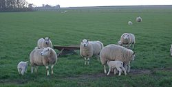Texel sheep - The complete information and online sale with