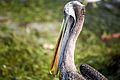 That Coy Pelican Look (7136532657).jpg