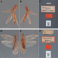 The-type-material-of-Mantodea-(praying-mantises)-deposited-in-the-National-Museum-of-Natural-zookeys-433-031-g005.jpg