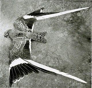 Pennant-winged nightjar species of bird
