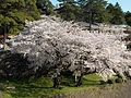 The Cherry Bloom.LW.JPG