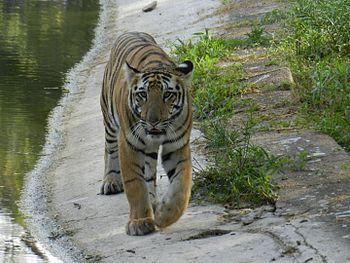 The Croaching Tiger.jpg