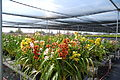 The Flower Fields at Carlsbad Ranch 36 2014-04-28.jpg