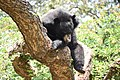 The Himalayan black bear (Ursus thibetanus) is a rare subspecies of the Asiatic black bear. 04.jpg