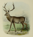 Illustration of Kashmir stag