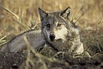 The endangered gray wolf canis lupus.jpg