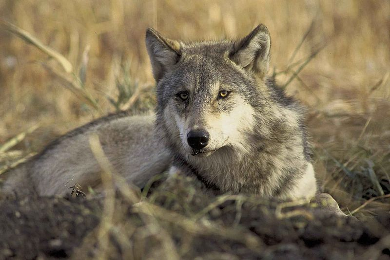 File:The endangered gray wolf canis lupus.jpg