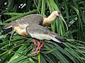 Theristicus caudatus Bandurria aliblanca Buff-necked Ibis (6260925418).jpg