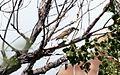 Thick-billed kingbird - Flickr - GregTheBusker (4).jpg