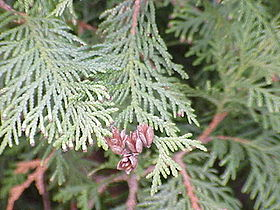 Thuja occidentalis0.jpg