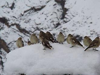 Montifringilla - Image: Tibetan Snowfinch