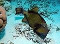 Titan Triggerfish (or Giant Triggerfish, or Moustache Triggerfish), Balistoides viridescens feeding at Sataya Reef, Red Sea, Egypt -SCUBA (6395402117).jpg