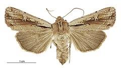 240px tmetolophota atristriga female