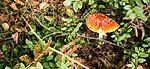 Toadstool near the falls Of Mesach (23222873849).jpg