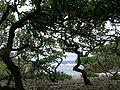 Tournefortia bush.jpg