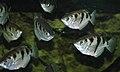 Toxotes jaculatrix (banded archerfish) 4 (15533393159).jpg