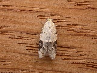 <i>Tracholena sulfurosa</i> species of insect