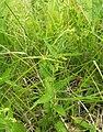 Tragia urticifolia.jpg