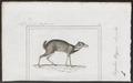 Tragulus napu - 1838 - Print - Iconographia Zoologica - Special Collections University of Amsterdam - UBA01 IZ21500186.tif