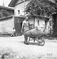 Travo pelje, Staro selo 1951 (2).jpg