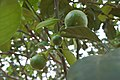Trees and fruits, Koh Chang, Thailand.jpg