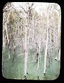 Trees in the flooded river near Gatun (3608378048).jpg