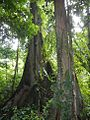 Trees of the Ulu Muda Forest.jpg