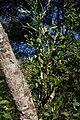 Trichilla havanensis CF9A3628 Siguaraya.jpg