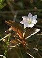 Trientalis europaea LC0160.jpg