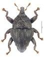 Trigonopterus monteithi Riedel, holotype.tif