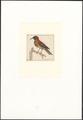 Trochilidae - 1753-1834 - Print - Iconographia Zoologica - Special Collections University of Amsterdam - UBA01 IZA1000244.tif